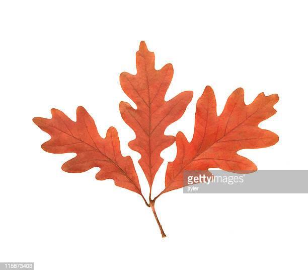oak leaf cluster - oak leaf stock pictures, royalty-free photos & images