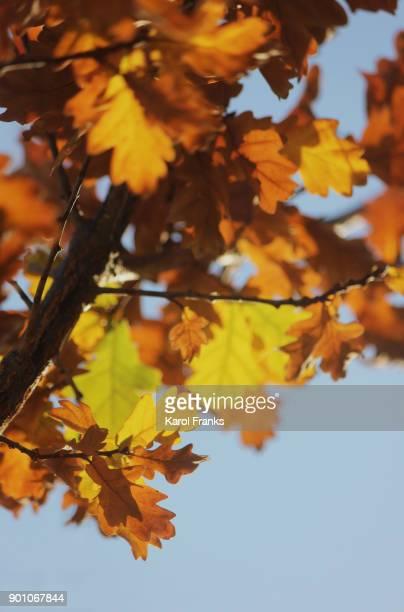 Oak leaf details in color