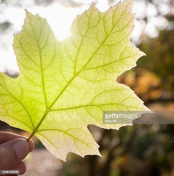 Oak Leaf Hydrangea leaf