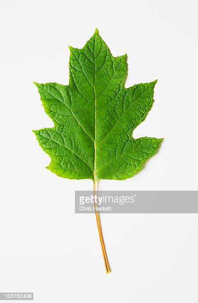 oak leaf hydrangea - foglia di quercia foto e immagini stock