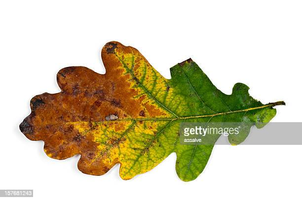 oak leaf in fall