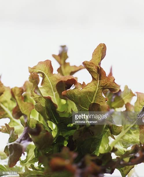 Oak leaf lettuce