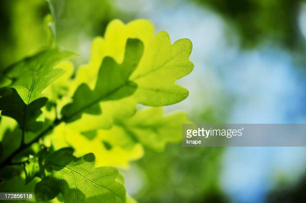 oak leafs - foglia di quercia foto e immagini stock