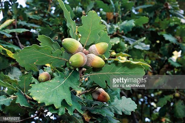 Oak leaves and acorns Fagaceae Carne' Natural Park Brisighella EmiliaRomagna Italy