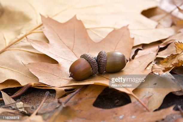 oak folhas e nozes - novembro azul - fotografias e filmes do acervo