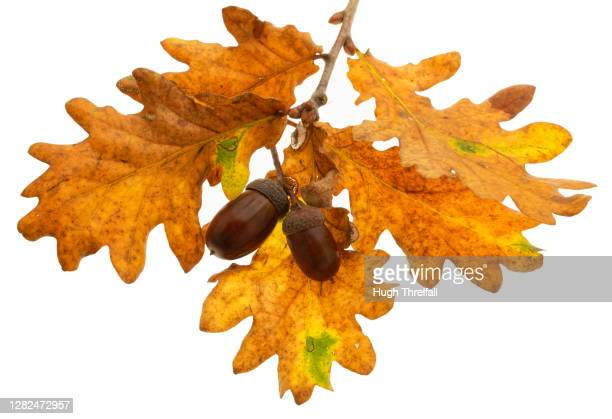 oak leaves and acorns - hugh threlfall stock pictures, royalty-free photos & images