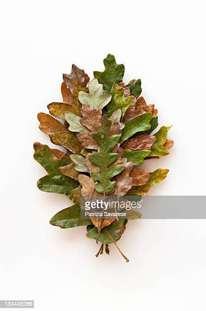 oak leaves arranged in progression of size - foglia di quercia foto e immagini stock