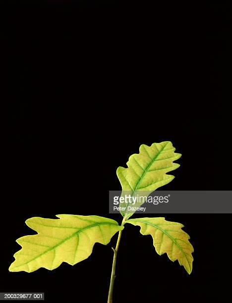 Oak (Quercus sp.) leaves, close up