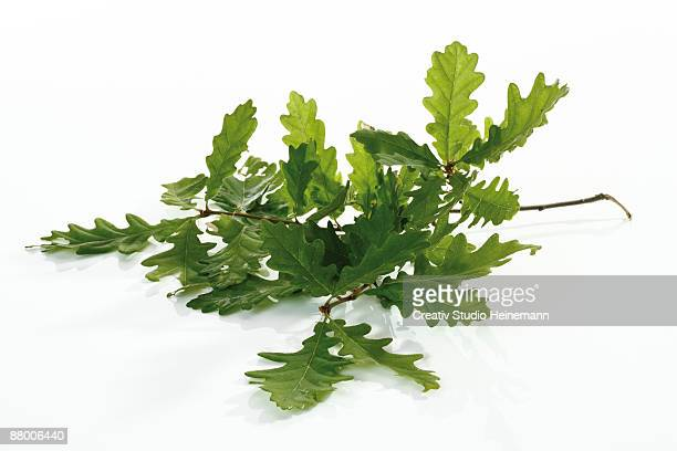 oak leaves, close-up - foglia di quercia foto e immagini stock