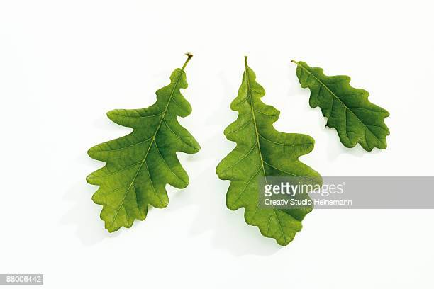 Oak leaves, close-up