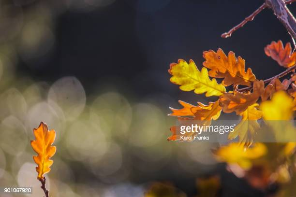 Oak leaves in autumn colors