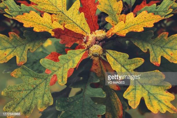 oak leaves with acorns. background image of leaves. - ast pflanzenbestandteil stock-fotos und bilder