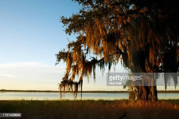 oak on the myaka river - musgo español fotografías e imágenes de stock
