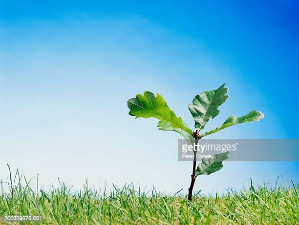 oak (quercus sp.) sapling, close up - appearance stock pictures, royalty-free photos & images