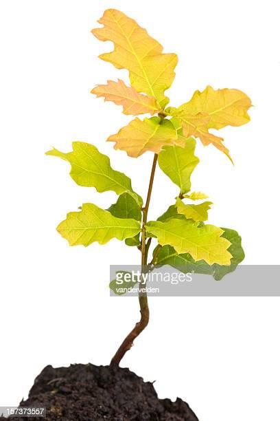 Oak Sapling Isolated On White