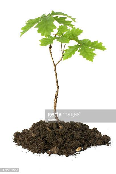 oak sapling - oak tree stock pictures, royalty-free photos & images