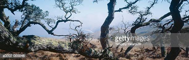 oak tree and mist over valley - timothy hearsum stock pictures, royalty-free photos & images