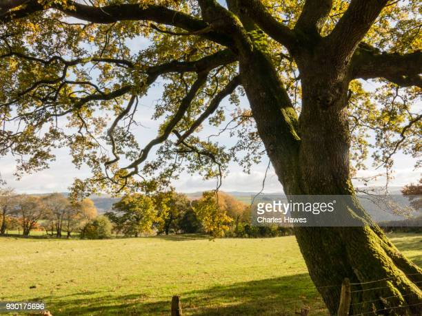 Oak tree and view over Carmarthenshire and Towy Valley.  The Cambrian Way, Wales, UK