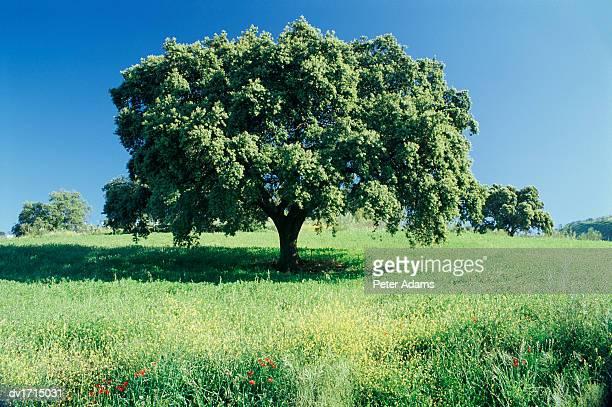 Oak Tree, Andalucia, Spain