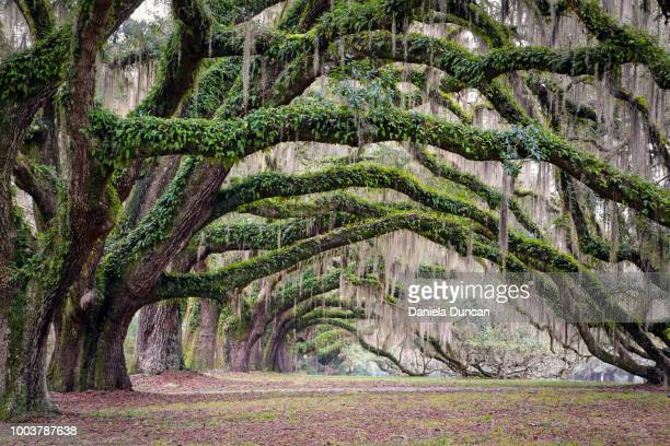 oak tree arches - live oak tree stock pictures, royalty-free photos & images