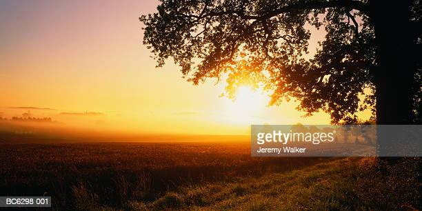 oak tree (quercus sp.) at dawn, northamptonshire, england - northamptonshire stock pictures, royalty-free photos & images