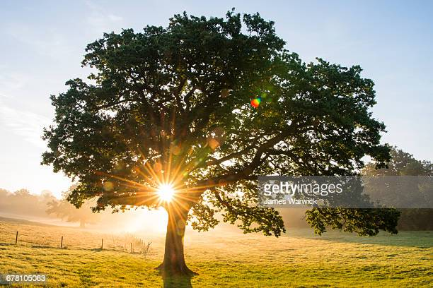 oak tree at sunrise - oak tree stock pictures, royalty-free photos & images