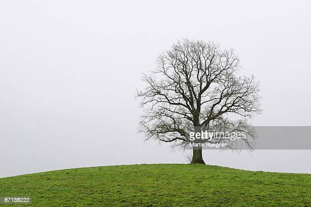 Oak tree at top of a hill leaveless, white sky.