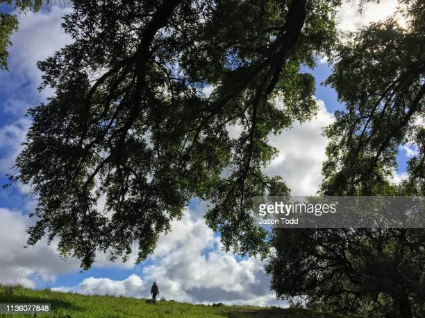 oak tree branches and hiker on the mount burdell preserve - jason todd stock photos and pictures