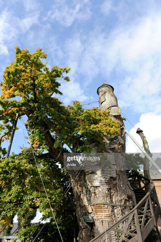 Oak tree 'Chene chapelle' in Allouville-Bellefosse, in the Pays de Caux, a natural region in northern France. It's the oldest known tree in France.
