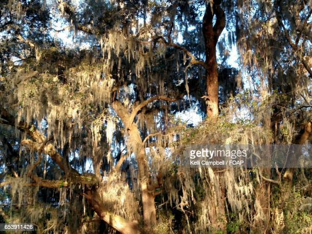 oak tree covered with moss - kelli campbell stock pictures, royalty-free photos & images
