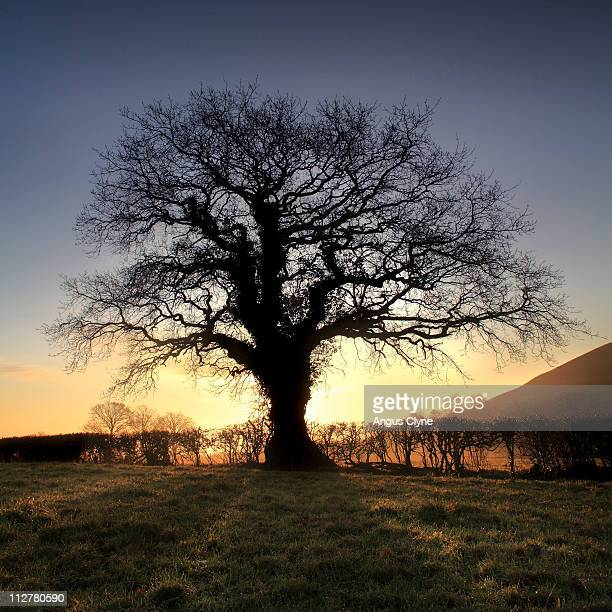 Oak Tree, Glastonbury