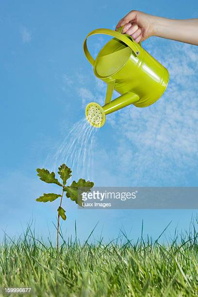 oak tree growing in grass being watered