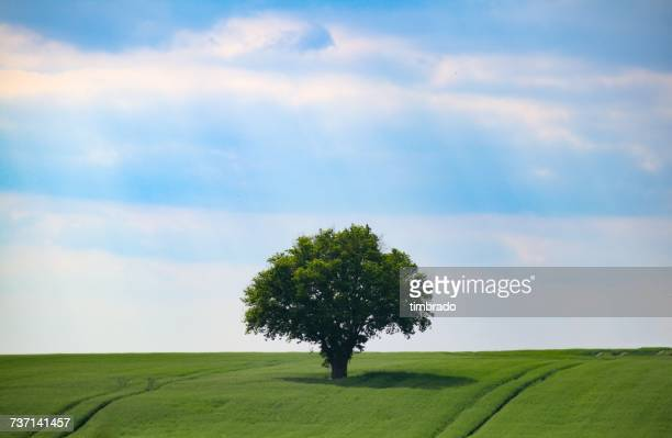 Oak tree in a field, Cherveux, France