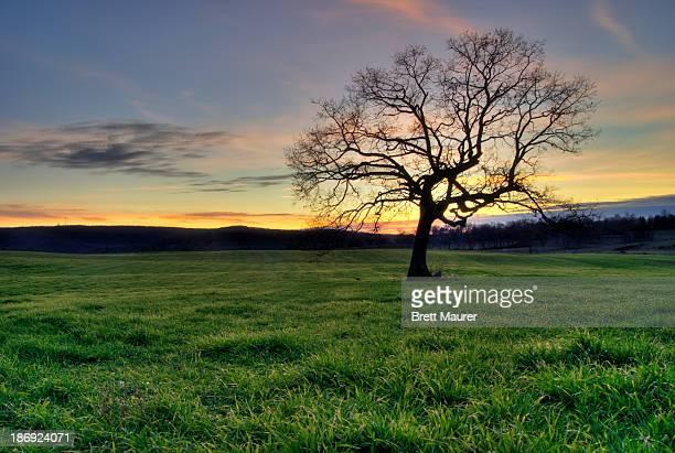 Oak Tree in a grassy field at sunset