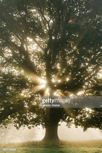 oak tree in a misty meadow at sunrise in summer - meadow walker stock pictures, royalty-free photos & images