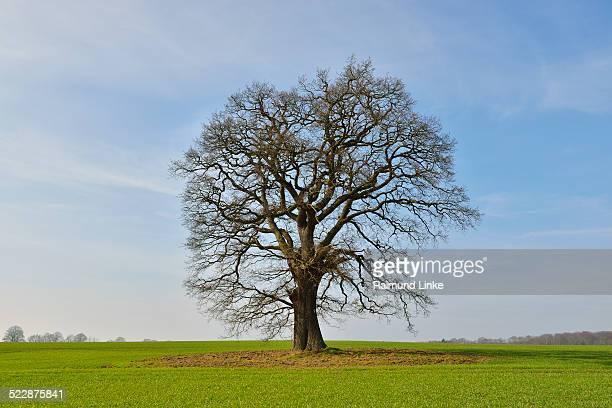 Oak Tree in early Spring