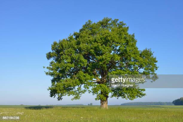 oak tree in meadow . - oak tree stock pictures, royalty-free photos & images