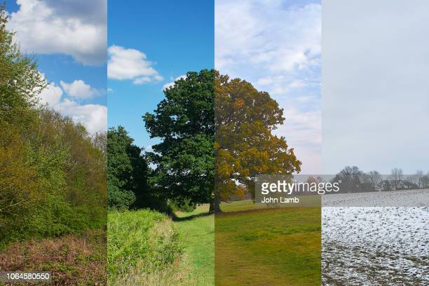 oak tree in meadow through the seasons - jahreszeit stock-fotos und bilder