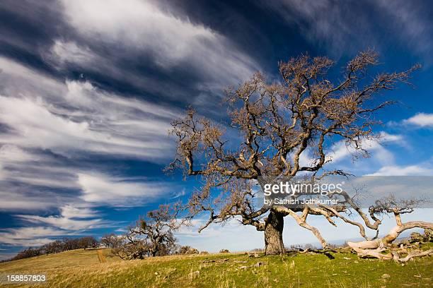 oak tree in ohlone wilderness - hügelkette stock-fotos und bilder