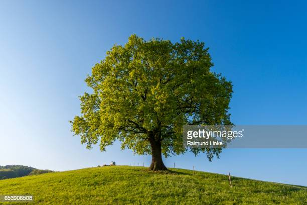 oak tree in spring, odenwald, hesse, germany - single tree stock pictures, royalty-free photos & images