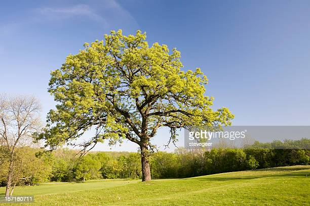 oak tree in spring - geneva illinois stock pictures, royalty-free photos & images