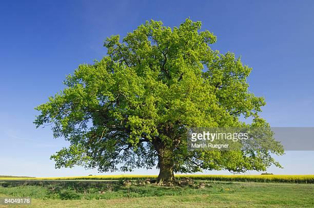 Oak tree (Quercus spec.) in spring.