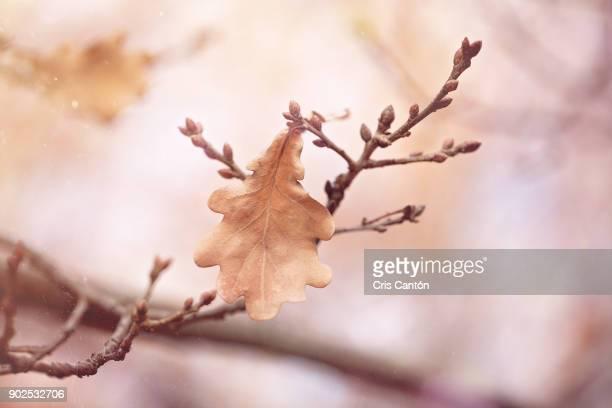 Oak tree leaf and buds