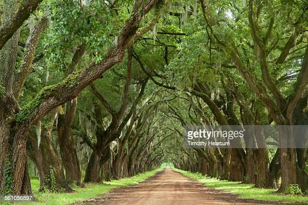 Oak tree lined dirt road