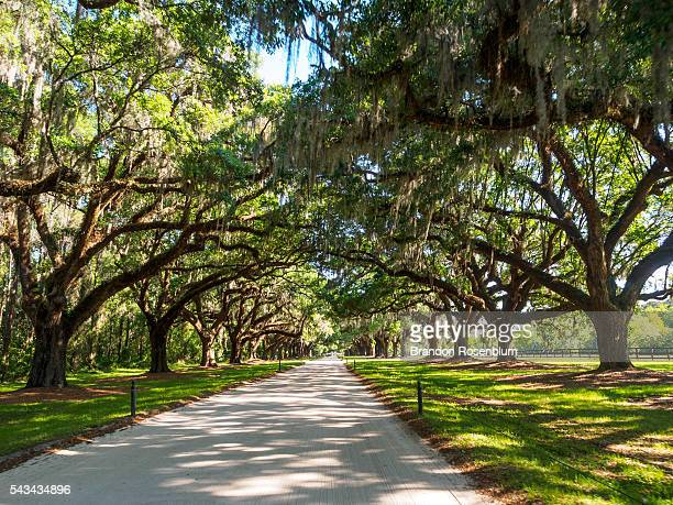 oak tree lined path on southern plantation - boone hall plantation stock pictures, royalty-free photos & images