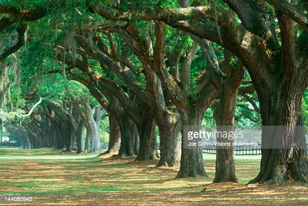 Oak tree lined road at Boone Hall Plantation Charleston South Carolina