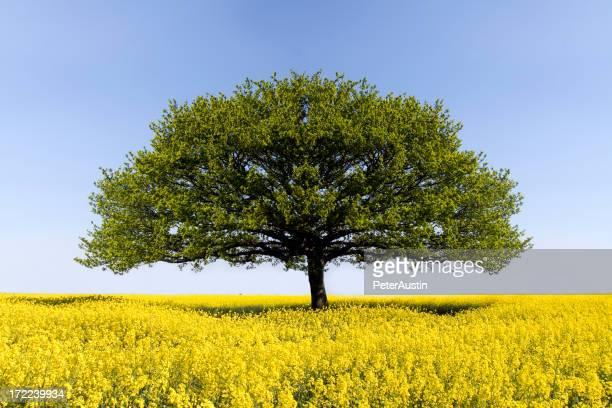 Oak Tree of Solitude