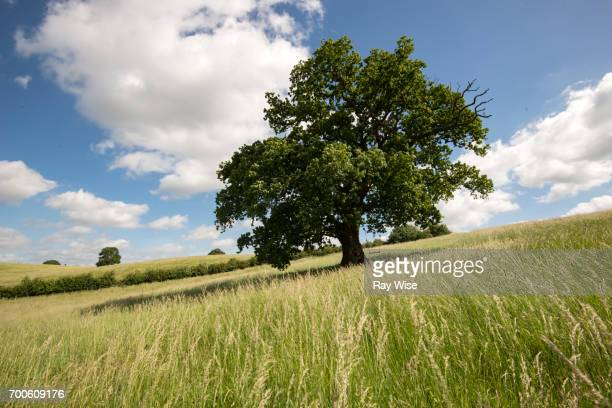 Oak tree on a hill with a rope swing