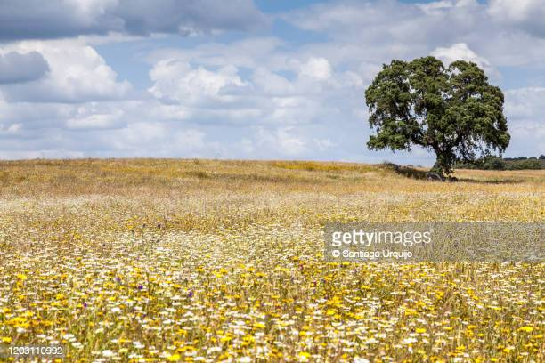 oak tree on a meadow - extremadura stock pictures, royalty-free photos & images