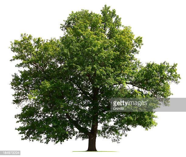 Oak tree on a white background